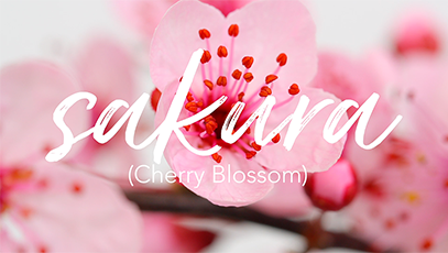 A Closer Look: Sakura's Cherry Blossoms